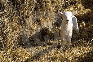 Spring Lamb Royalty Free Stock Photos - Image: 8533798
