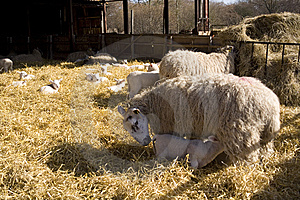 Lambing Stock Images - Image: 8533844