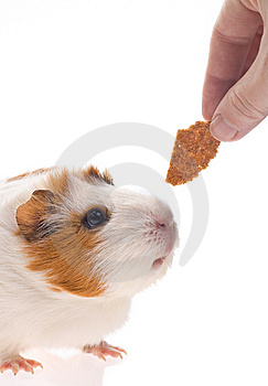 Guinea Pig Royalty Free Stock Images - Image: 8534029
