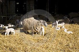 Lambing Stock Images - Image: 8534074