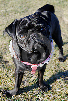 Curious Pug Royalty Free Stock Image - Image: 8534656