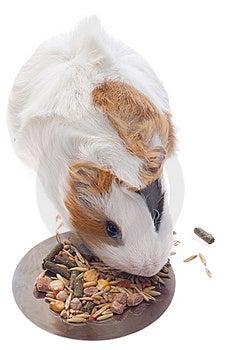 Guinea Pig Royalty Free Stock Image - Image: 8534846