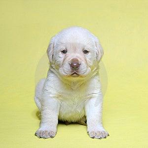 Labrador Retriever Cream Royalty Free Stock Photography - Image: 8535367