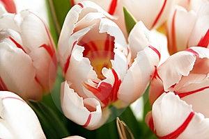 Tulip Stock Image - Image: 8537021