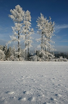 Frostbitten Trees Royalty Free Stock Photography - Image: 8537487