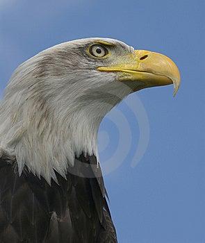 Bald Head Eagle Royalty Free Stock Photo - Image: 8537805