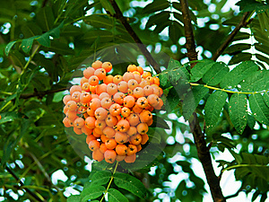 Mountain Ash Berries On A Branch Stock Photos - Image: 8538903