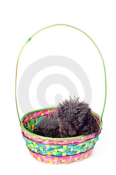 Black Poodle Isolated Stock Images - Image: 8539064
