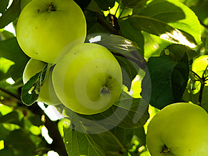 Apples In A Garden Stock Image - Image: 8539081