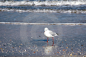 Seagull On The Beach Royalty Free Stock Image - Image: 8539646