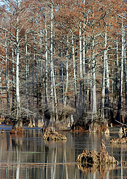 Cypress Swamp Stock Photography - Image: 8542552