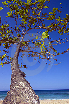 Tropical Tree Reaches For Blue Sky Royalty Free Stock Photos - Image: 8542678