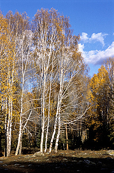 China/Xinjiang: Birches And Blue Sky Stock Photography - Image: 8544272
