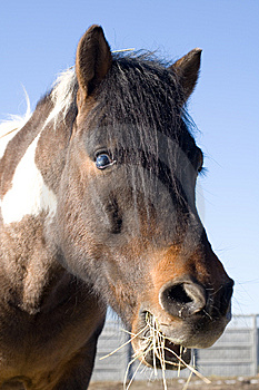 Old, Blind Horse Eating Hay Royalty Free Stock Images - Image: 8544449