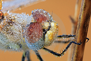 The Dragonfly Macro Portrait Royalty Free Stock Photos - Image: 8544568