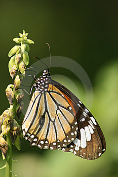 Batterfly Royalty Free Stock Images - Image: 8544789