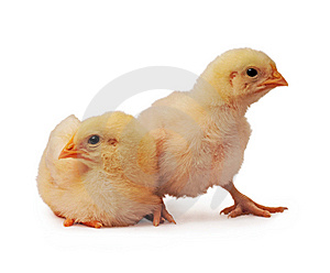 Two Chickens Royalty Free Stock Photos - Image: 8545118