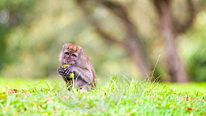 Foraging Macaque Monkey Royalty Free Stock Photos - Image: 8545978