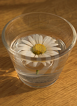 Daisy In A Glass Royalty Free Stock Images - Image: 8546269