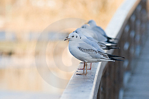 Seagulls Lined Up Royalty Free Stock Photography - Image: 8546547
