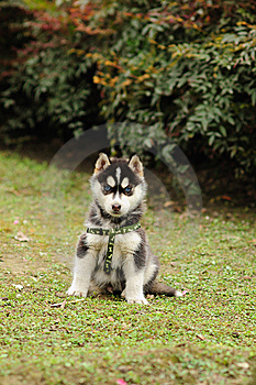 Baby Husky Stock Images - Image: 8547684