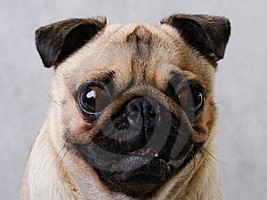 Pug Head Royalty Free Stock Images - Image: 8548609