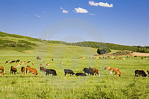 Cattle And Grassland Royalty Free Stock Photography - Image: 8548997