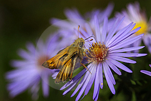 Skipper On Aster Stock Image - Image: 8551301
