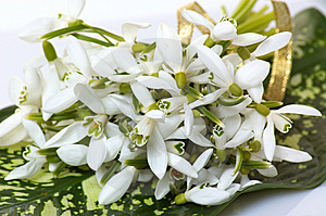 Wonderful Bouquet Of Snowdrop. Royalty Free Stock Images - Image: 8551519