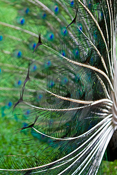 Peacock's Wings Royalty Free Stock Photo - Image: 8552265