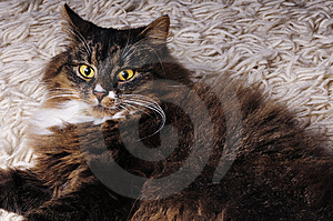 Hairy Cat Royalty Free Stock Images - Image: 8552499