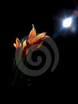 Tulips Under Moon Royalty Free Stock Photography - Image: 8552647
