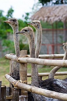 Flock Of Ostrich Royalty Free Stock Photography - Image: 8552807