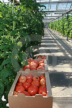 Tomatoes Stock Photos - Image: 8554153