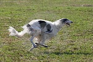 Running Borzoi Royalty Free Stock Photo - Image: 8555335
