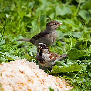 Hungry Sparrows Royalty Free Stock Photo - Image: 8555805
