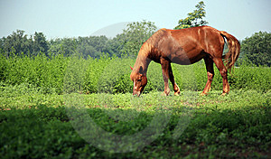 Brown Horse Royalty Free Stock Photo - Image: 8555835