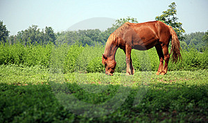 Brown Horse Royalty Free Stock Images - Image: 8555839