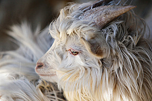 Goat Royalty Free Stock Photography - Image: 8555877