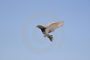 Bird Of Peace Royalty Free Stock Image - Image: 8556436