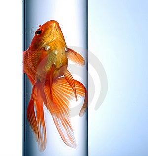 Goldfish Stock Image - Image: 8556721