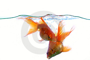 Goldfish Royalty Free Stock Photography - Image: 8556737