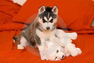 Puppy Stock Photo - Image: 8557760