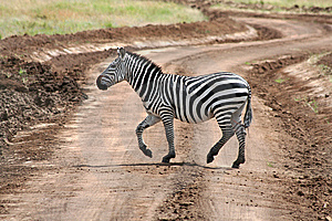 Zebra On Road Stock Photo - Image: 8557920