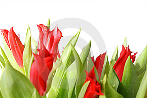 Gentle Tulips Stock Photography - Image: 8559302