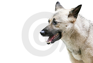 German Shepherd Dog Royalty Free Stock Photography - Image: 8559437