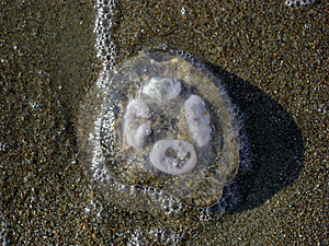 Jellyfish Ashore Stock Photography - Image: 8560222