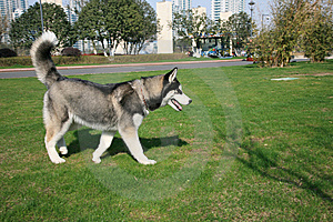 Siberian Husky Dog On Lawn Royalty Free Stock Image - Image: 8560526