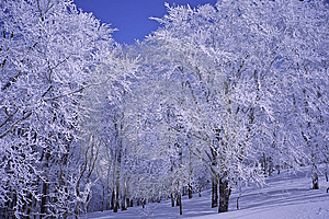 Winter Trees Royalty Free Stock Photo - Image: 8560655