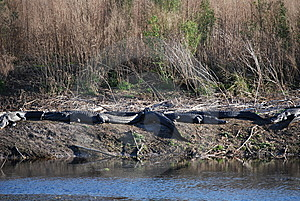 Alligators Sunbathing Royalty Free Stock Photography - Image: 8560727
